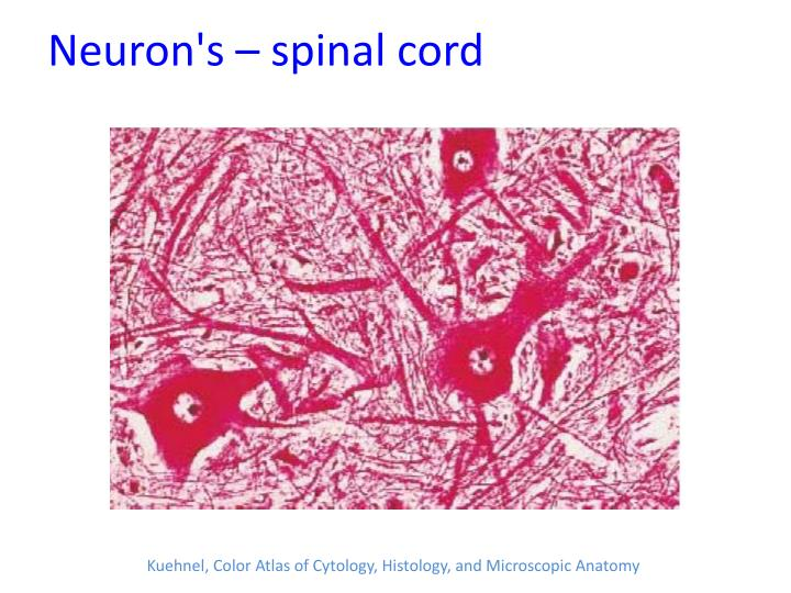 Neuron's – spinal cord