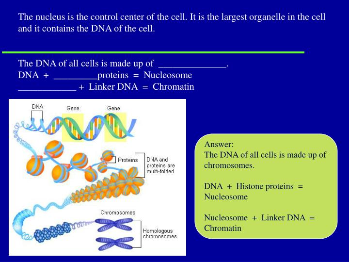 The nucleus is the control center of the cell. It is the largest organelle in the cell and it contains the DNA of the cell.