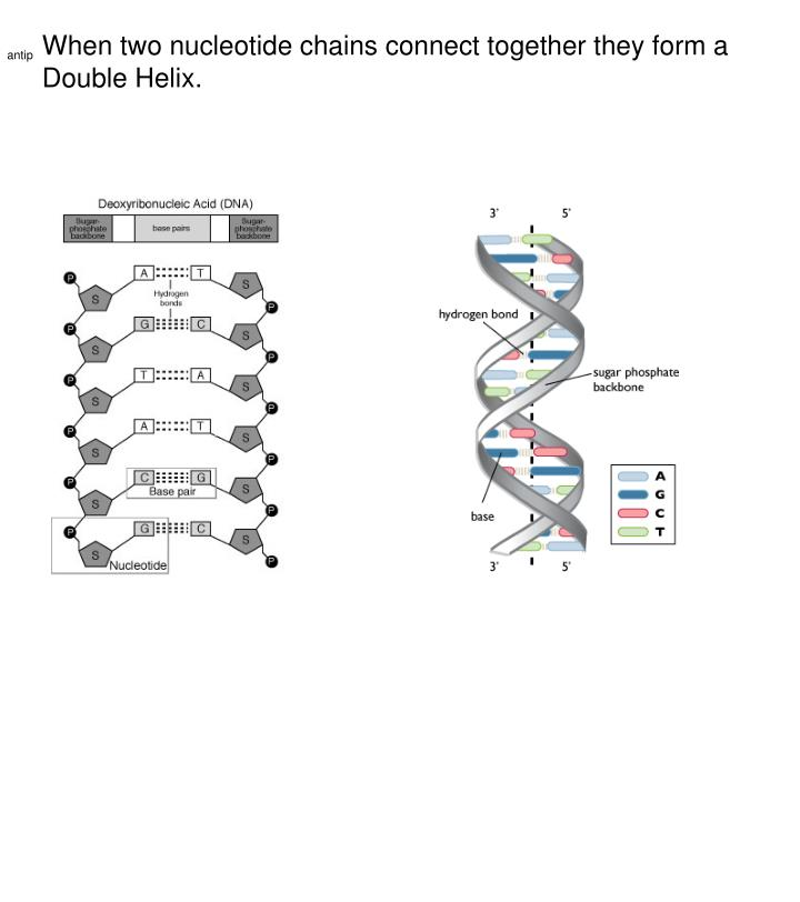 When two nucleotide chains connect together they form a Double Helix.
