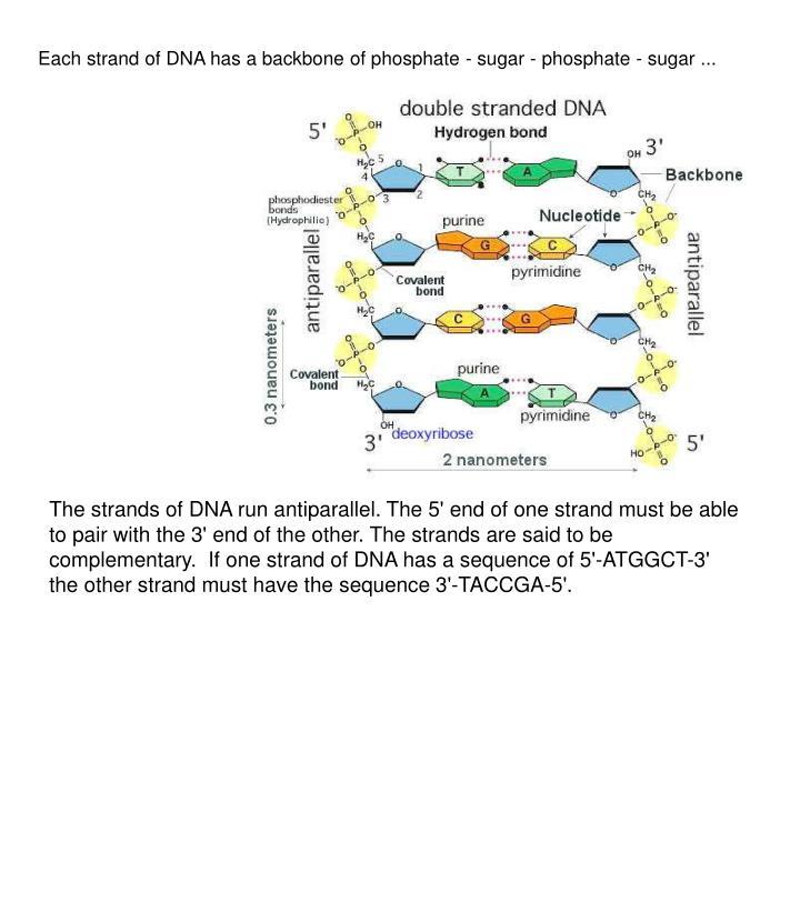 Each strand of DNA has a backbone of phosphate - sugar - phosphate - sugar ...