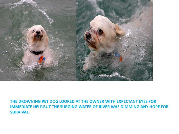 THE DROWNING PET DOG LOOKED AT THE OWNER WITH EXPECTANT EYES FOR