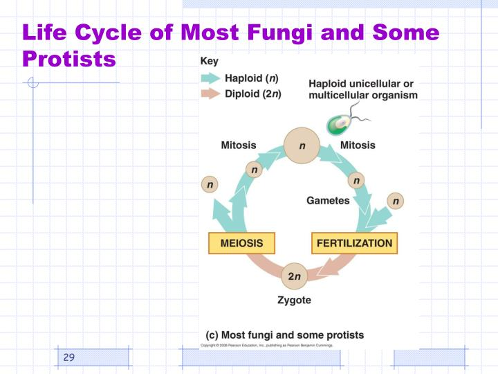 Life Cycle of Most Fungi and Some