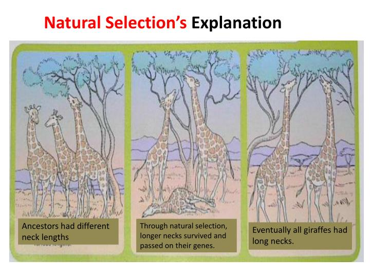 Ancestors had different neck lengths