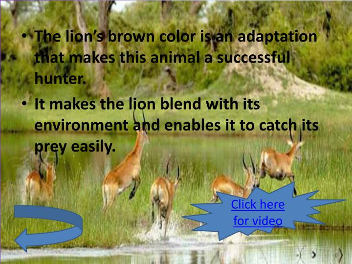 The lion's brown color is an adaptation that makes this animal a successful hunter.
