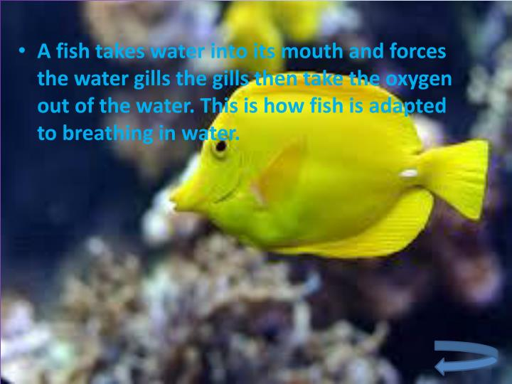 A fish takes water into its mouth and forces the water gills the gills then take the oxygen out of the water. This is how fish is adapted to breathing in water.
