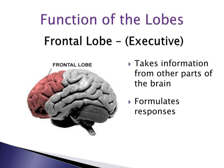 Frontal Lobe – (Executive)