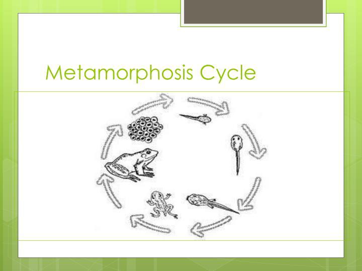 Metamorphosis Cycle