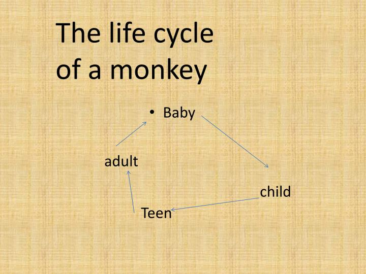 The life cycle of a monkey