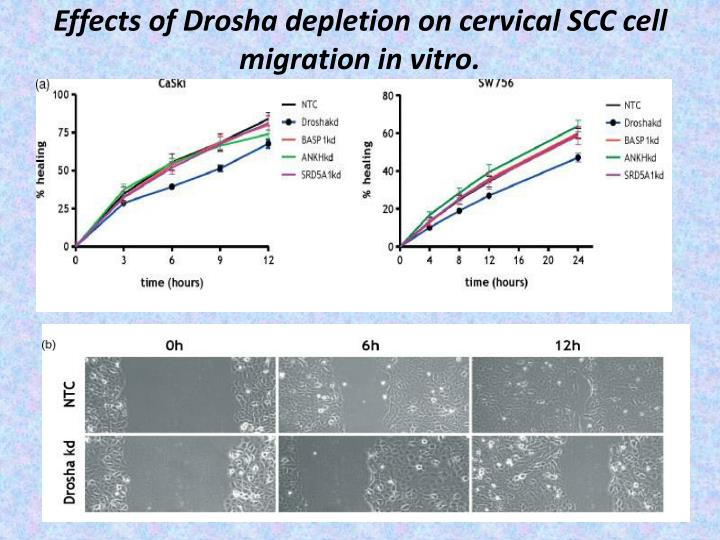 Effects of Drosha depletion on cervical SCC cell migration in vitro.
