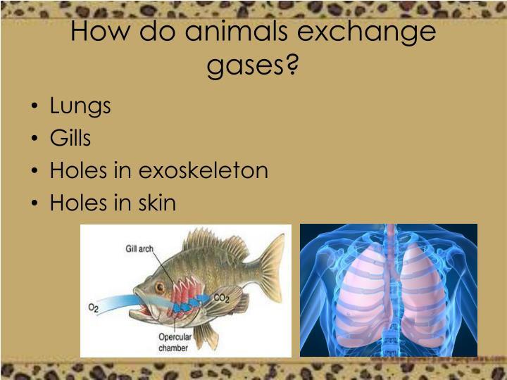 How do animals exchange gases?