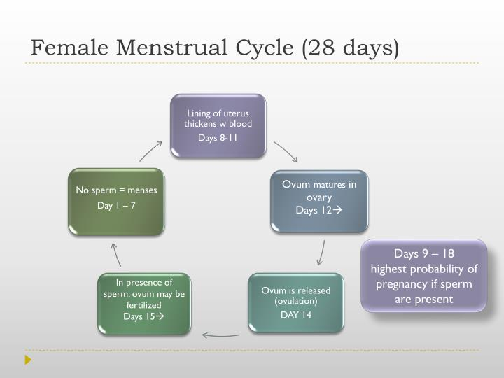 Female Menstrual Cycle (28 days)