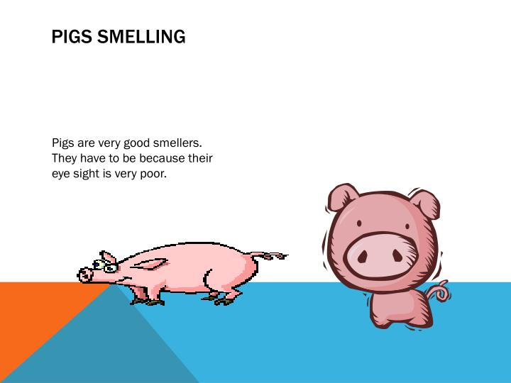Pigs Smelling