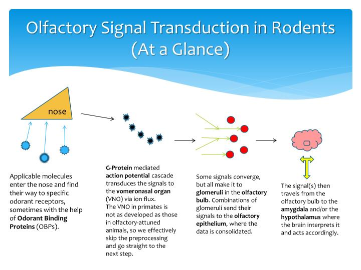 Olfactory Signal Transduction in Rodents