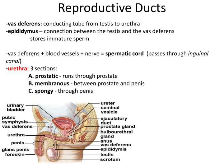 Reproductive Ducts