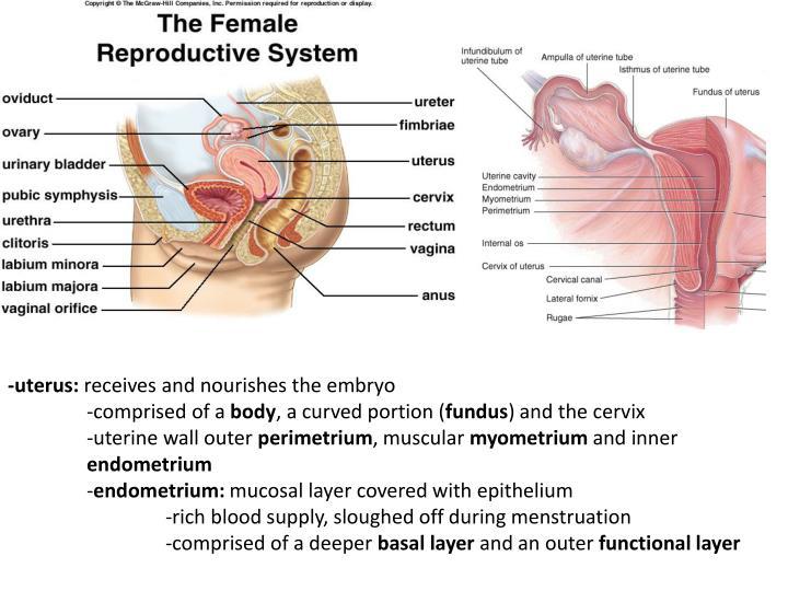 -uterus: