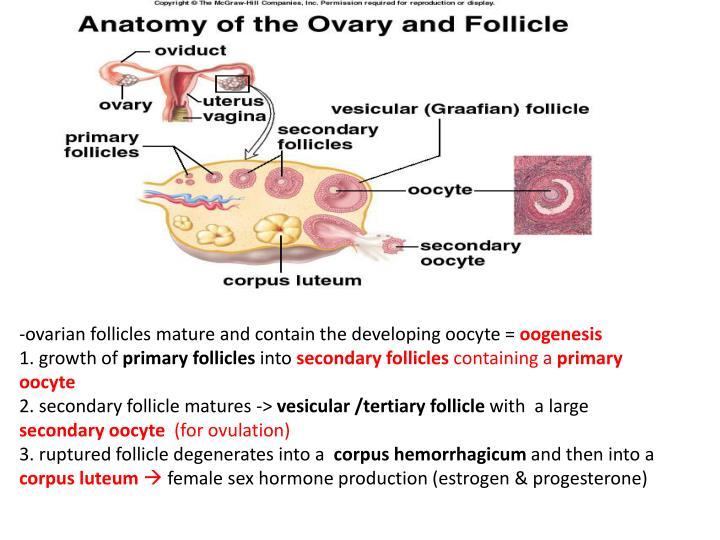 -ovarian follicles