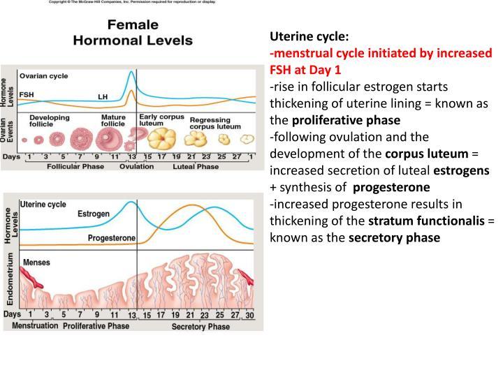 Uterine cycle: