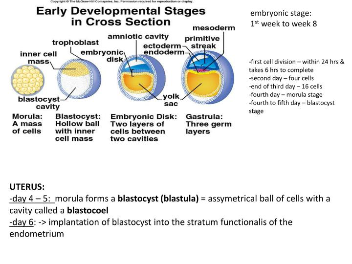 embryonic stage: