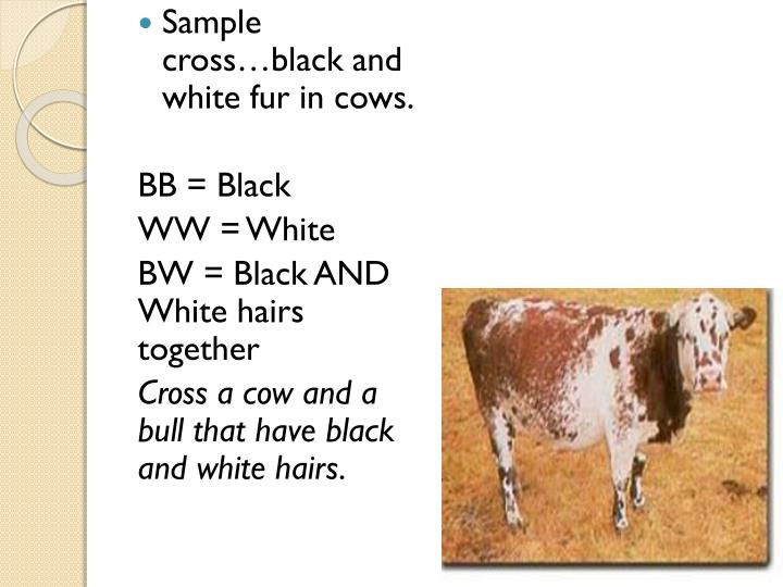 Sample cross…black and white fur in cows
