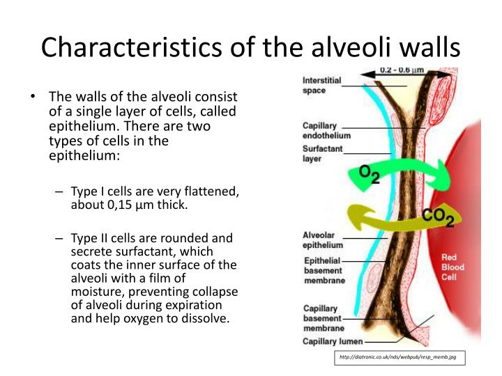 Characteristics of the alveoli walls