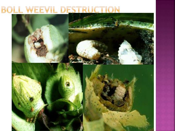 Boll Weevil Destruction
