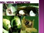 boll weevil destruction