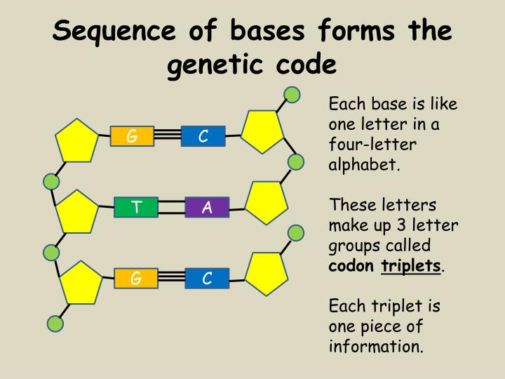 Sequence of bases forms the genetic code