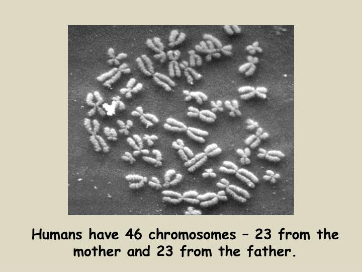Humans have 46 chromosomes – 23 from the mother and 23 from the father.
