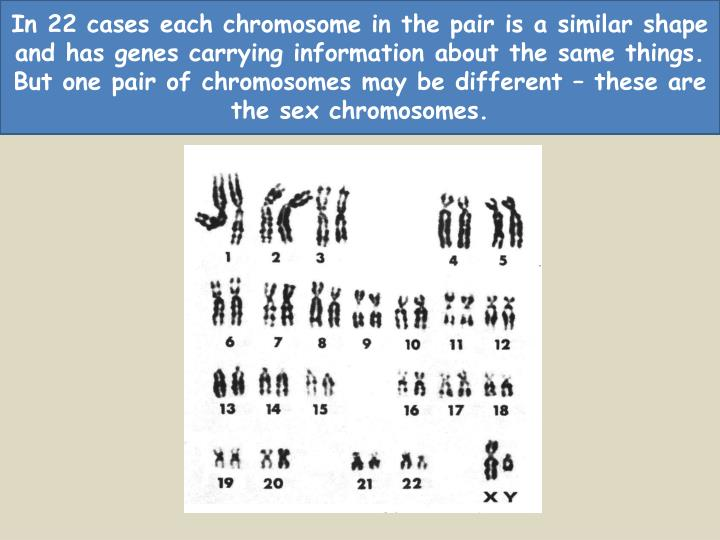In 22 cases each chromosome in the pair is a similar shape and has genes carrying information about the same things.  But one pair of chromosomes may be different – these are the sex chromosomes.