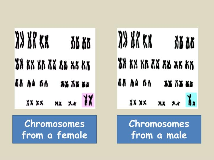 Chromosomes from a female