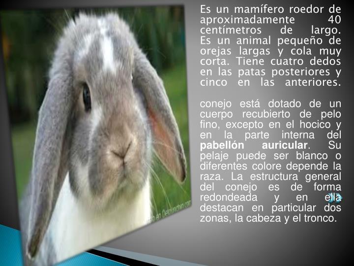 Es un mamífero roedor de aproximadamente 40 centímetros de largo.