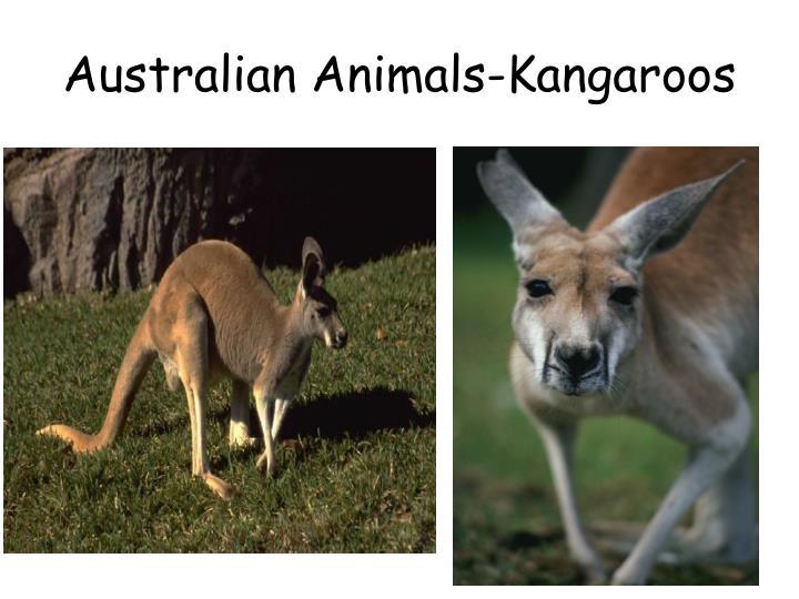 Australian Animals-Kangaroos