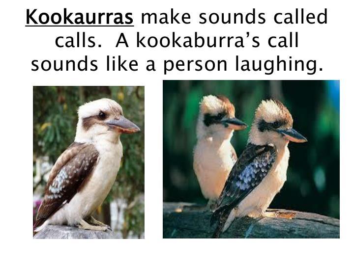 Kookaurras