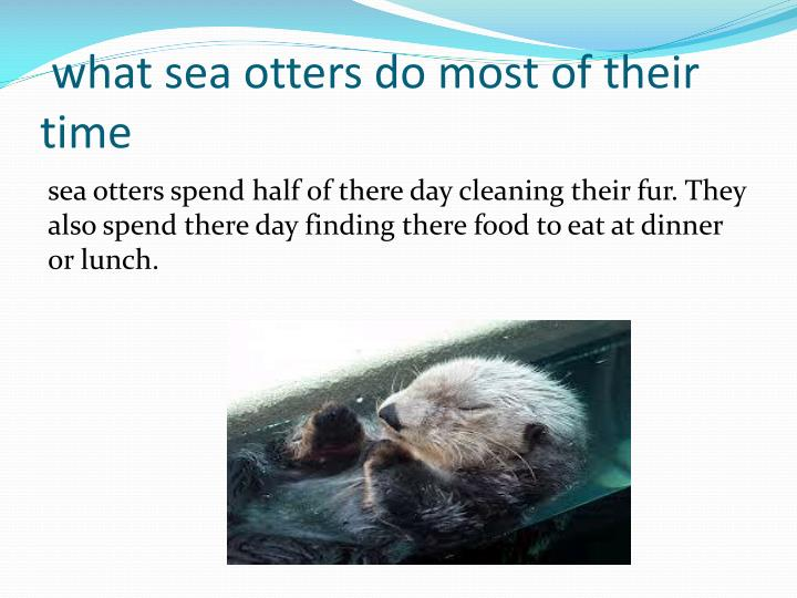 What sea otters do most of their time
