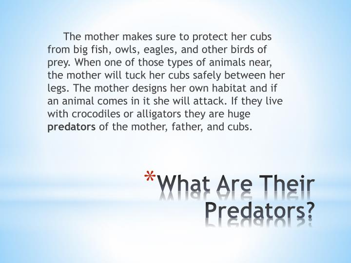 The mother makes sure to protect her cubs from big fish, owls, eagles, and other birds of prey. When one of those types of