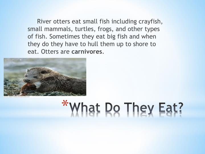 River otters eat small fish including crayfish, small mammals, turtles, frogs, and other types of fish. Sometimes they eat big fish and when they do they have to hull them up to shore to eat. Otters are