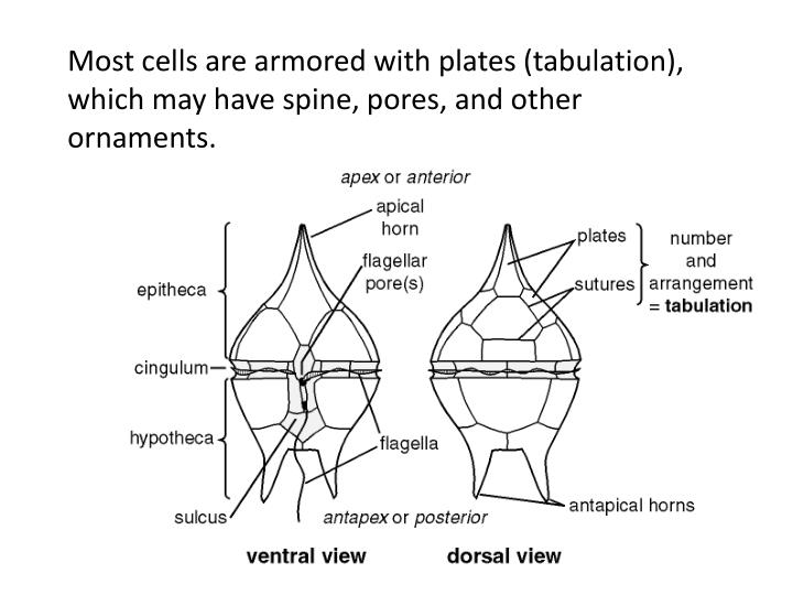 Most cells are armored with plates (tabulation), which may have spine, pores, and other ornaments.