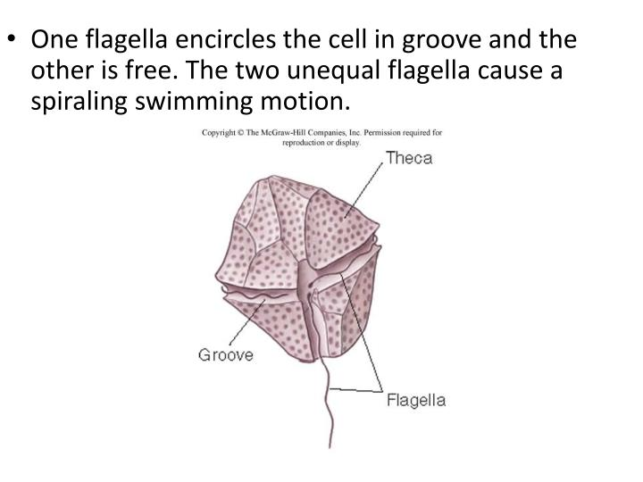 One flagella encircles the cell in groove and the other is free. The two unequal flagella cause a sp...