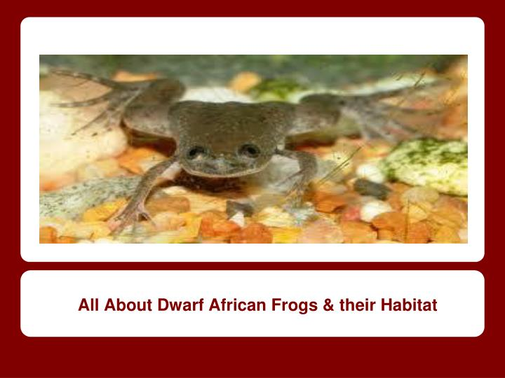 All about dwarf african frogs their habitat