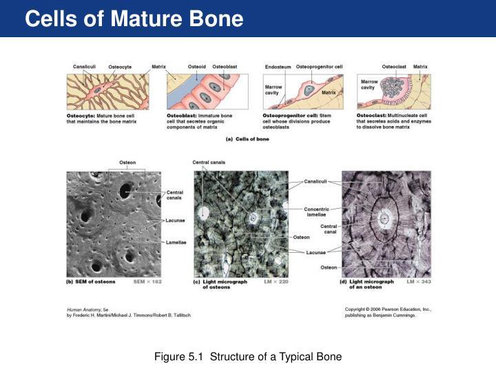Cells of Mature Bone