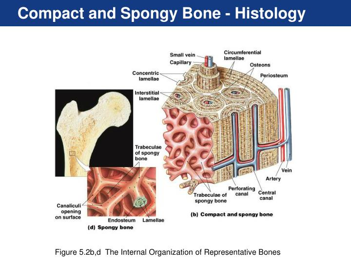 Compact and Spongy Bone - Histology