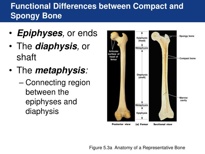 Functional Differences between Compact and Spongy Bone