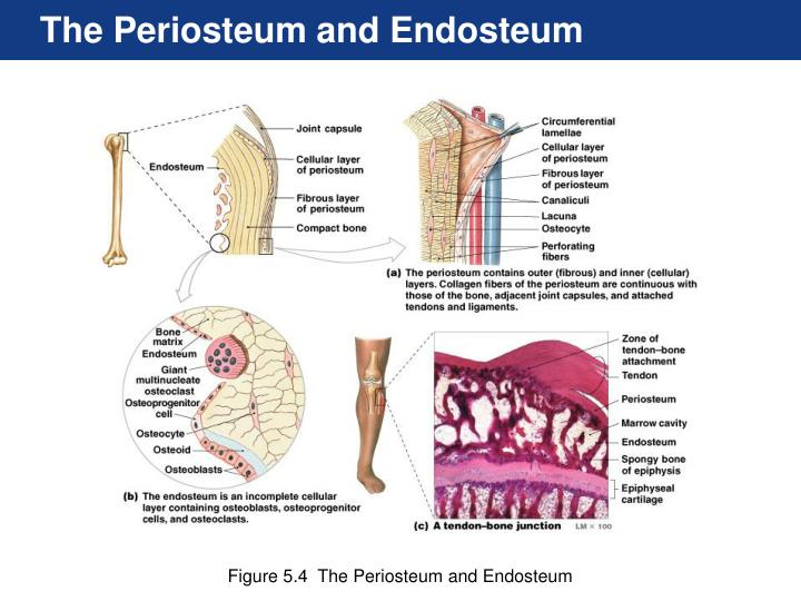 The Periosteum and Endosteum
