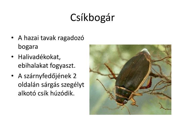 Csíkbogár