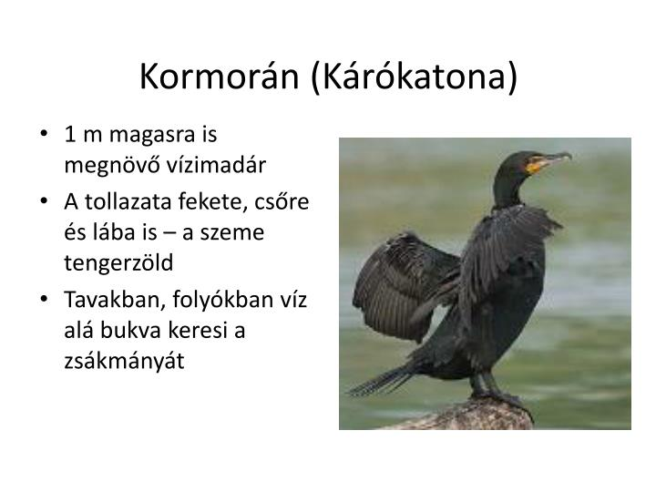Kormorán (Kárókatona)
