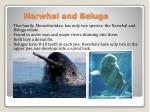narwhal and beluga