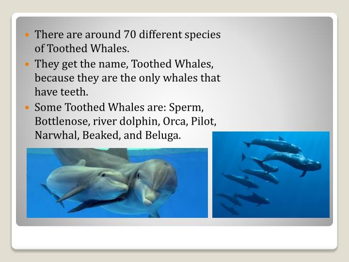 There are around 70 different species of Toothed Whales.