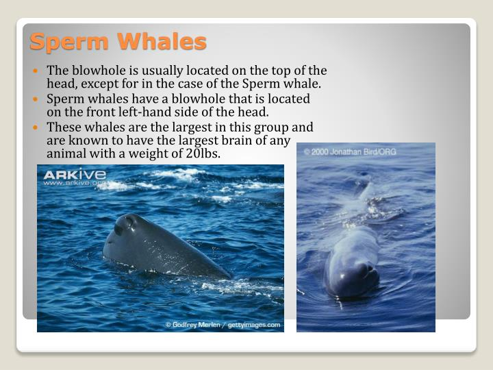 The blowhole is usually located on the top of the head, except for in the case of the Sperm whale.