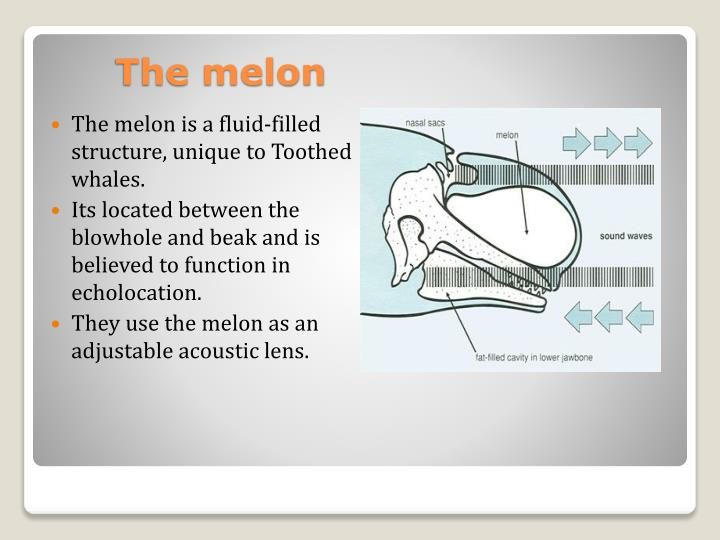 The melon is a fluid-filled structure, unique to Toothed whales.