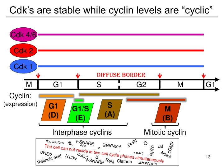 "Cdk's are stable while cyclin levels are ""cyclic"""
